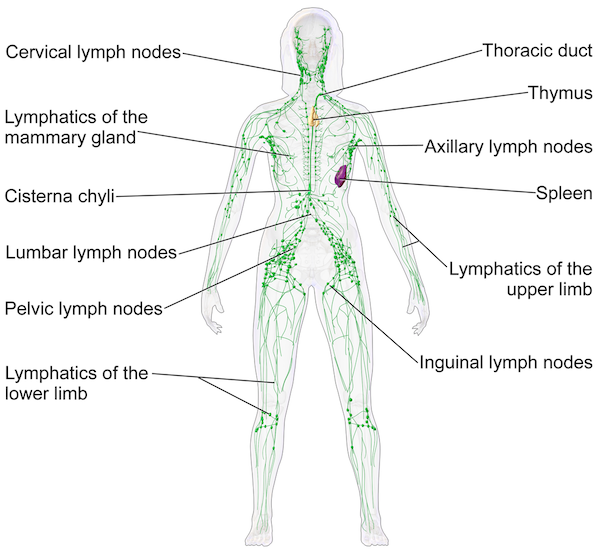 Detox Your Lymphatic System | GroovyBeets.com