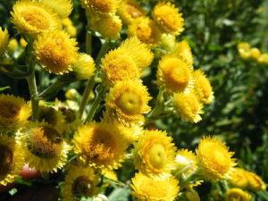 Helichrysum | GroovyBeets.com