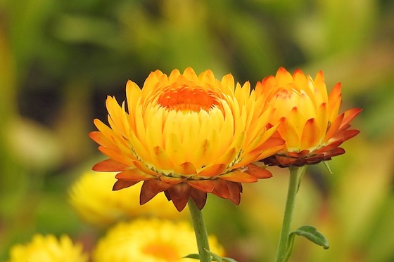 Why Helichrysum Should Be in Your Medicine Cabinet