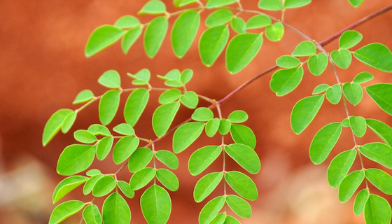 Lower Cholesterol & Blood Sugar with Moringa