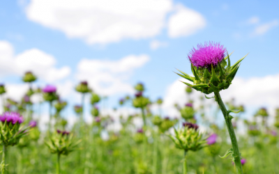 Milk Thistle and Cancer