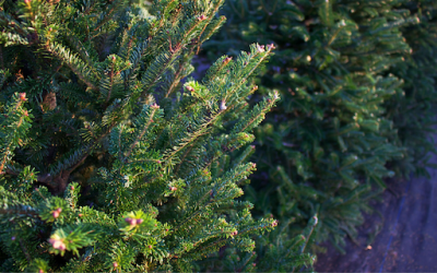 Benefits of Douglas Fir Essential Oil