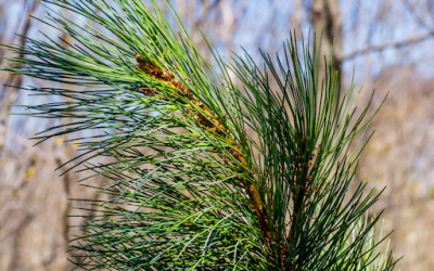 4 Benefits of Siberian Fir Essential Oil