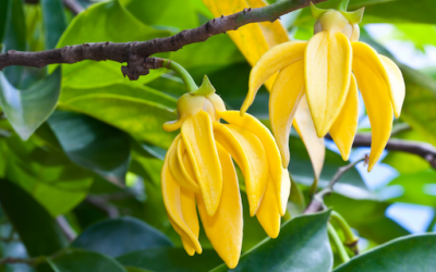 Ease Tension, Stress & Anxious Feelings with Ylang Ylang Essential Oil