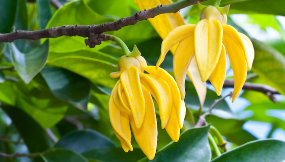 Ease Tension, Stress & Anxiety with Ylang Ylang Essential Oil
