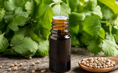 Benefits of Cilantro Essential Oil