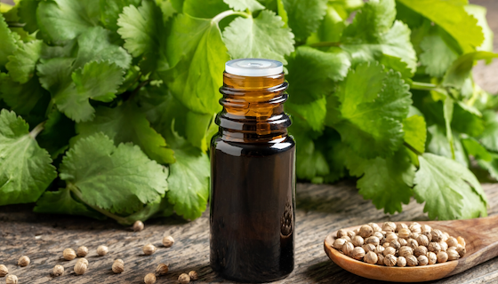 Benefits of Cilantro Essential Oil