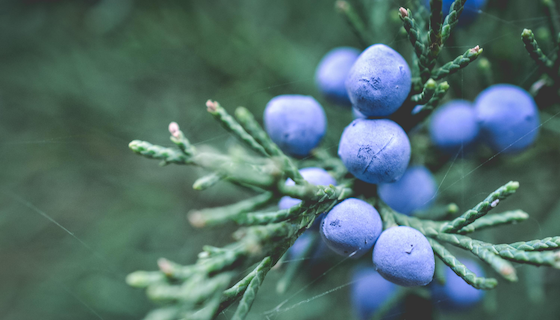Benefits of Juniper Berry Essential Oil | LeannForst.com